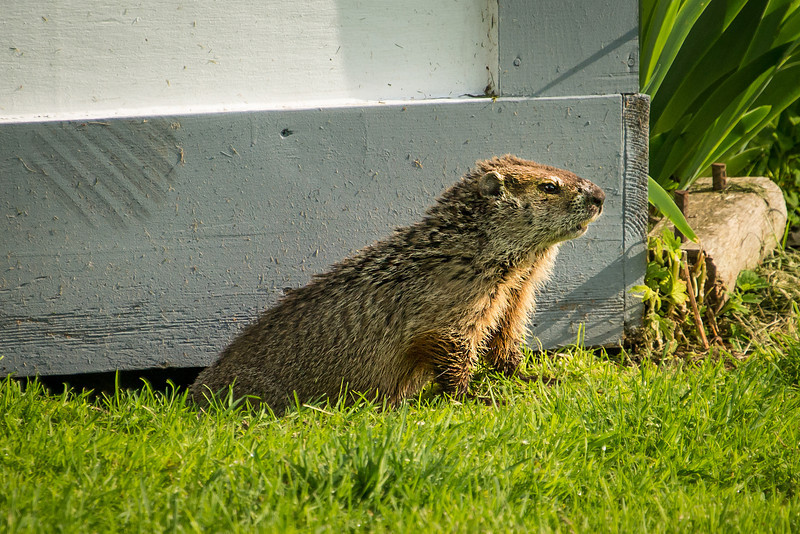 Ground Hog emerging from beneath utility shed in Pt. Aux Barques Lighthouse Park - May 2013
