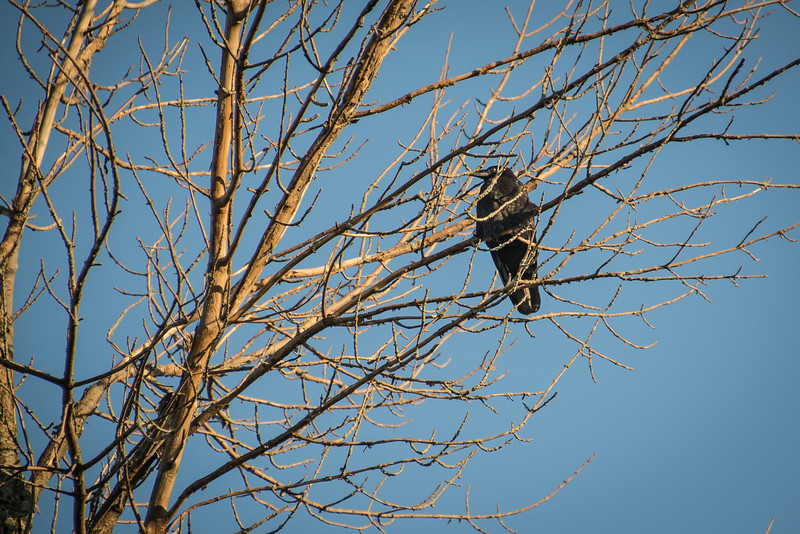 Raven in dead Ash tree - May 2013