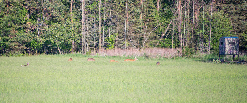 Deer grazing near Deer Blind off of Wallace Rd. in Grindstone City, MI - May 2013