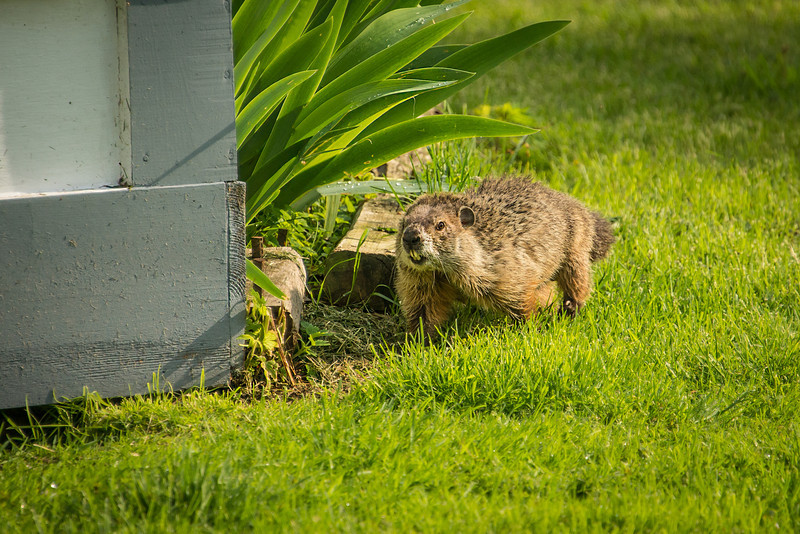 Ground Hog near utility shed in Pt. Aux Barques Lighthouse Park - May 2013