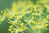 The dill is blooming!
