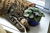 Our youngest cat Mini seems to have adopted this African violet - check out the fur on the leaves!