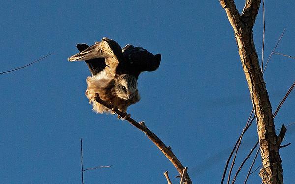 Mississippi Kites (raptors), Aug 2012