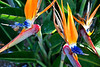 Birds of Paradise, Newport Beach CA