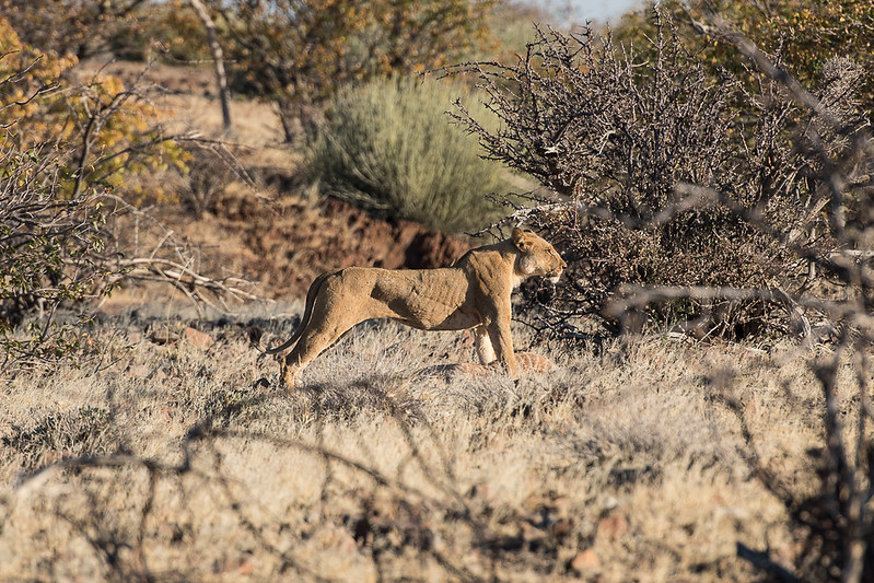 The lion with its kill.  It is slightly injured after getting stomped by the adult giraffe during the first attack, but the guide seemed to think it would be ok.
