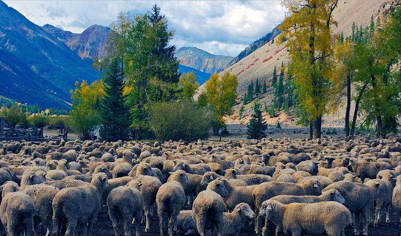 Silverton Sheep