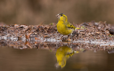 Siskin, Carduelis spinus. Lemeler Berg, The Netherlands.