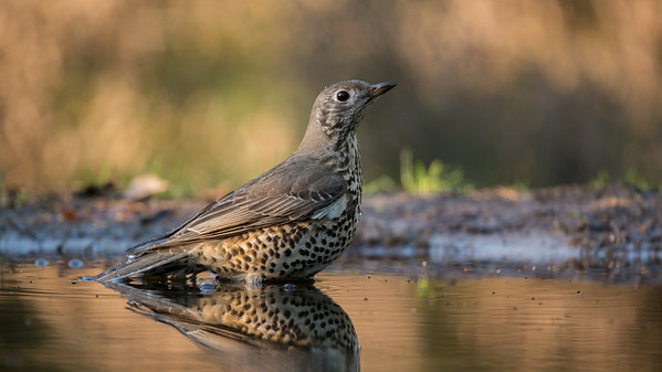 Mistle thrush, Turdus viscivorus Lemelerberg, The Netherlands.