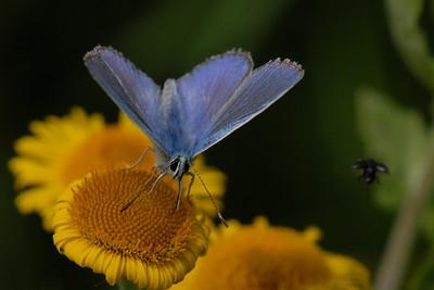 Adonis Blue, Polyommatus bellargus. Texel, The Netherlands.