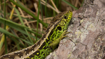 Sand Lizard Lacerta agilis. Waterleidingduinen, The Netherlands.