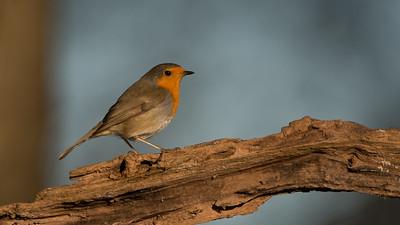 European Robin, Erithacus rubecula. Rucphen, The Netherlands.