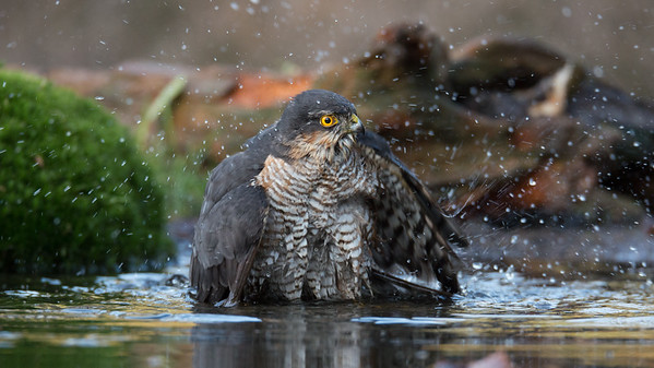 Sparrowhawk, Accipiter nisus Lemelerberg, The Netherlands.