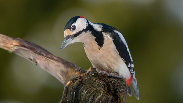 Great Spotted Woodpecker, Dendrocopos major.