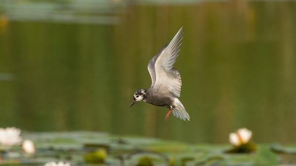 Black Tern, Chlidonias niger.