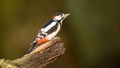 Great Spotted Woodpecker, Dendrocopus major. Lemeler Berg, The Netherlands.