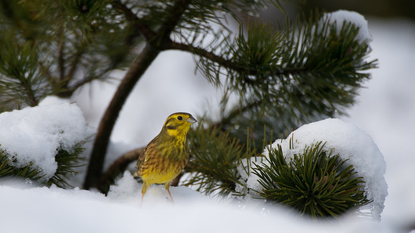 Yellowhammer, Emberiza citrinella.