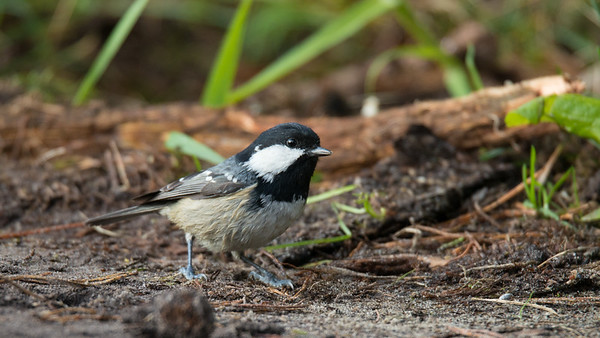 Coal Tit, Periparus ater. Lemelerberg, The Netherlands.