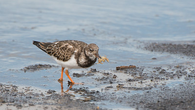 Ruddy Turnstone, Arenaria interpres. Texel The Netherlands.