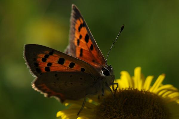 Small Copper, Lycaena phlaeas. Twiske, The Netherlands.