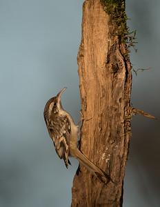 Short-toed Treecreeper, Certhia brachydactyla. Rucphen, The Netherlands.