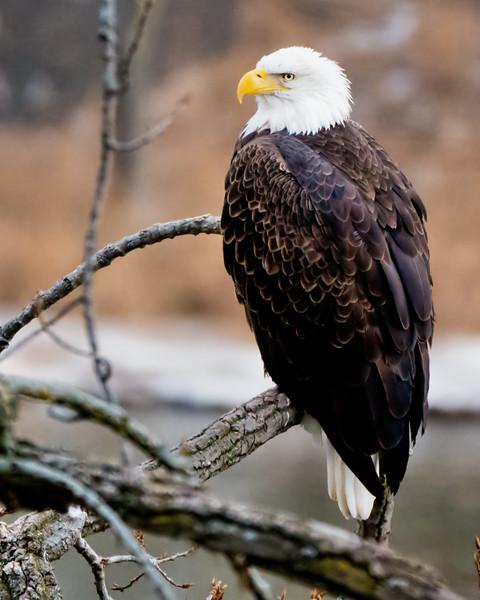 Bald Eagle (male) Cohoes - 1-1-17