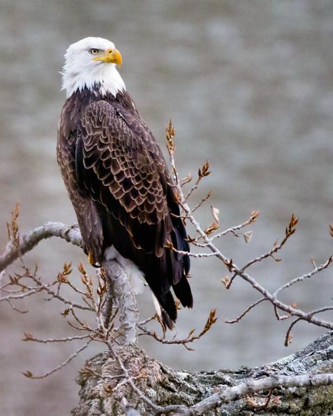 Bald Eagle (female) Cohoes - 1-1-17