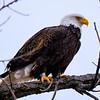 Bald Eagle, Tibbitts Ave, Green Island - 1-1-17