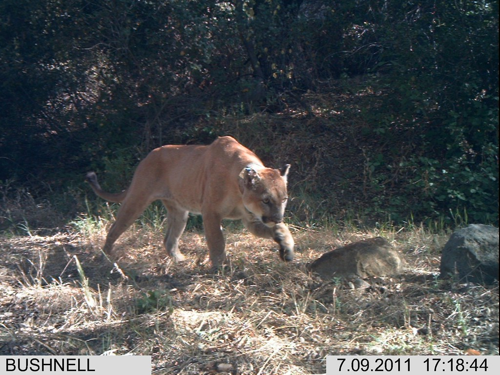 . Mountain lions living in the Santa Monica Mountains face the possibility of extinction. Currently the population is vigorous, with stable population growth and healthy rates of survival and reproduction. The mountain lions are isolated from natural areas by freeways and development which could ultimately result in the population going extinct.  (Photo courtesy National Park Service)