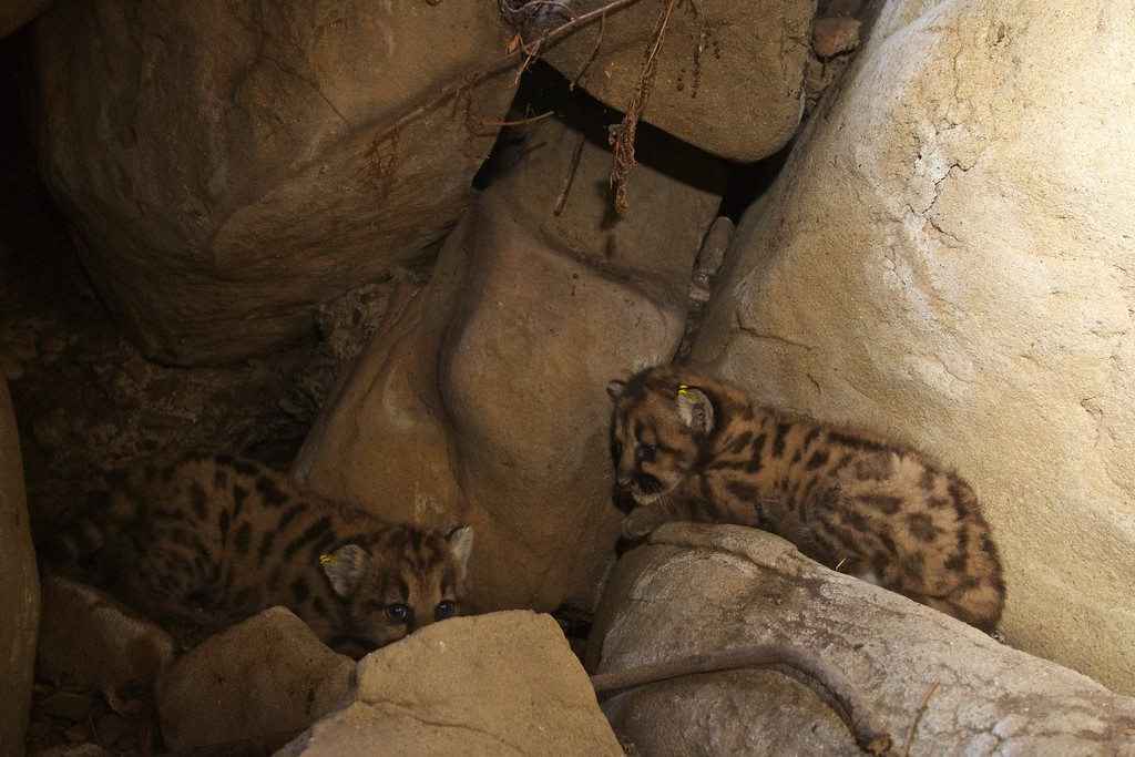 . Two of the kittens from the litter including P-50, P-51 and P-52 are seen in this photo. Their mother is P-39, and their father is suspected to be P-38. (Photo courtesy of the National Park Service)