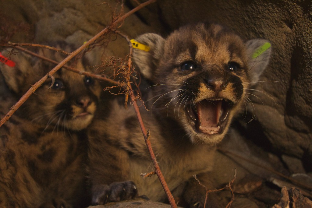 . A second litter was found with three cubs, P-50, P-51 and P-52 -- two males and one female. Their mother is P-39, and again, the father is suspected to be P-38. (Photo courtesy of the National Park Service)