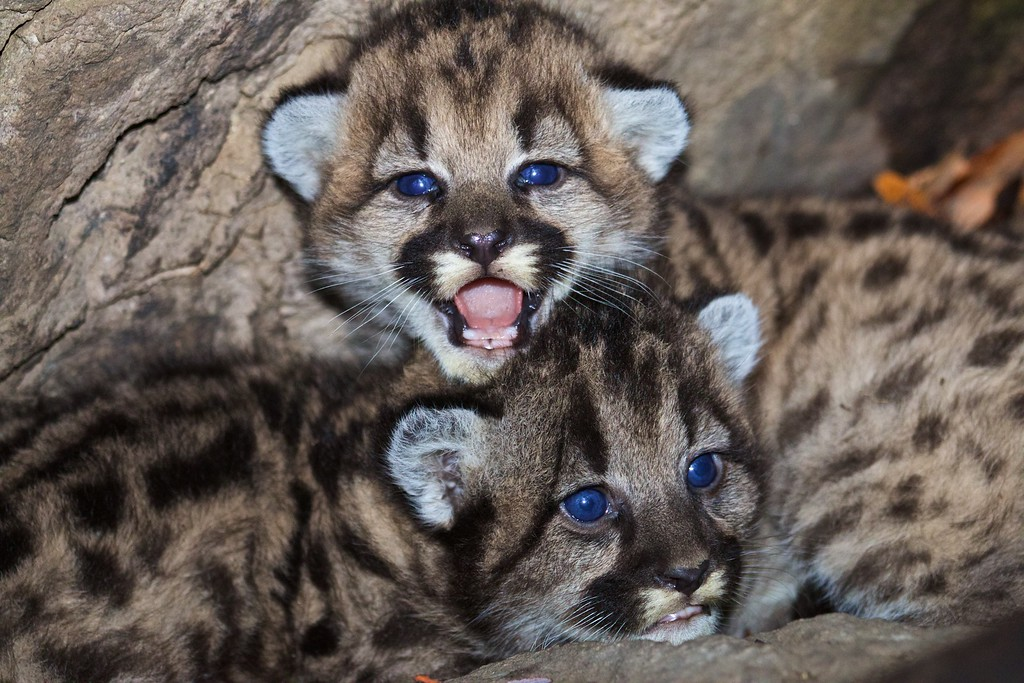 . P-46 and P-47.  Mountain lions living in the Santa Monica Mountains face the possibility of extinction. Currently the population is vigorous, with stable population growth and healthy rates of survival and reproduction. The mountain lions are isolated from natural areas by freeways and development which could ultimately result in the population going extinct.  (Photo courtesy National Park Service)