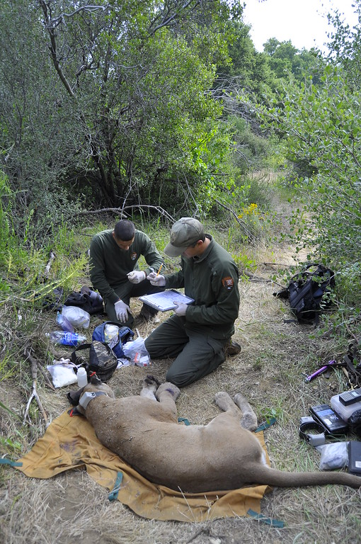. National Park Service staff recording data on a mountain lion.  Mountain lions living in the Santa Monica Mountains face the possibility of extinction. Currently the population is vigorous, with stable population growth and healthy rates of survival and reproduction. The mountain lions are isolated from natural areas by freeways and development which could ultimately result in the population going extinct.  (Photo courtesy National Park Service)