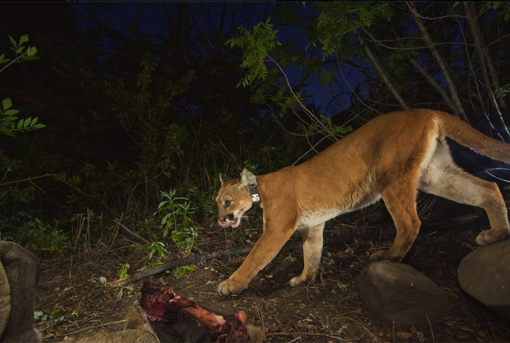 . Female mountain lion P-39 is seen feeding on a mule deer with her kittens in the Santa Susana Mountains in 2015. P-39 was killed by a vehicle on the 118 Freeway in Chatsworth on Dec. 3, 2016, according to wildlife biologists with the National Park Service. (Photo courtesy of the National Park Service)  (Photo courtesy of the National Park Service)
