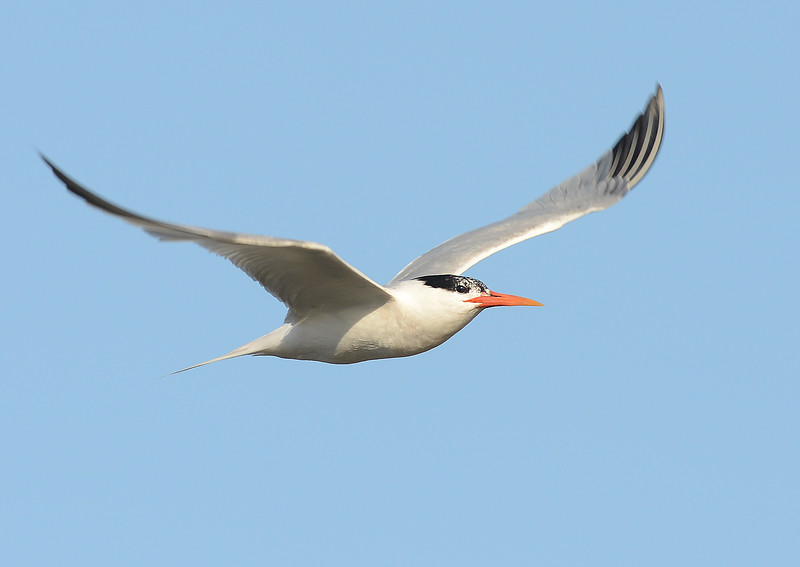 . A Caspian Tern, one of several species of tern commonly seen at the Bolsa Chica Wetlands, flies over Pacific Coast Highway near the wetlands. The Bolsa Chica Conservancy is celebrating its 25th year. The group is the conservator of the Bolsa Chica wetlands in 2015. (Photo by SAM GANGWER, ORANGE COUNTY REGISTER)