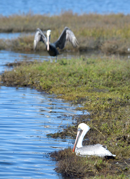 . Pelicans at the Bolsa Chica Wetlands. (Photo by JEFF GRITCHEN, ORANGE COUNTY REGISTER)