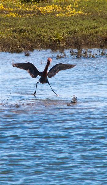 . A Reddish Egret in the Bolsa Chica Wetlands. Photo Courtesy April Sanders