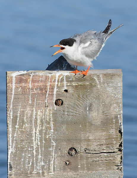 . A Forester\'s Tern stands on a piling in the water at the Bolsa Chica Wetlands. The Bolsa Chica Conservancy is celebrating its 25th year. The group is the conservator of the Bolsa Chica wetlands in 2015. (Photo by SAM GANGWER, ORANGE COUNTY REGISTER)