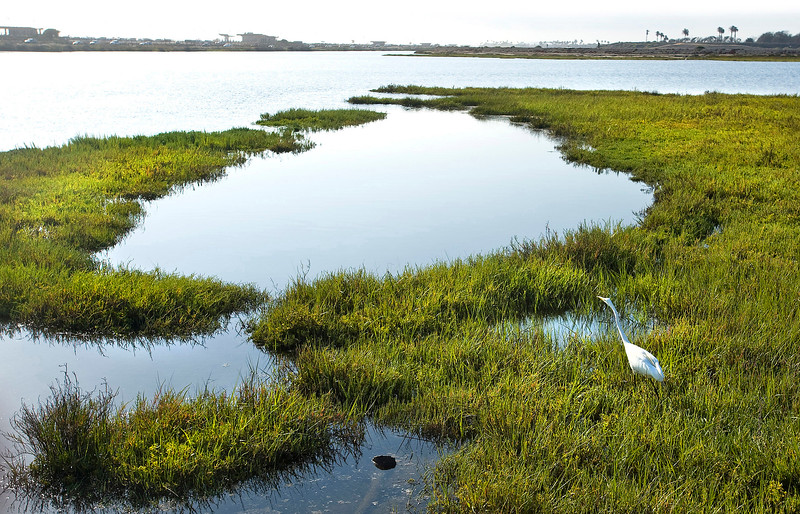 . A Great Egret stalks his prey in the pickle weed in the Bolsa Chica Wetlands of Huntington Beach.(Photo by SAM GANGWER, ORANGE COUNTY REGISTER)