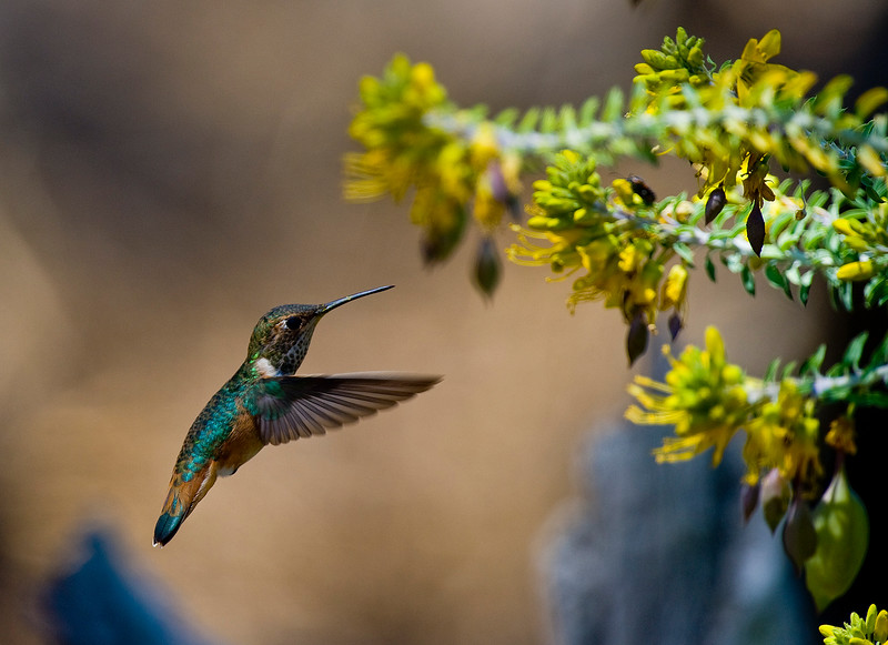 . An Anna\'s Hummingbird hovers around a bladderpod plant along a trail in the Bean Field area of the Bolsa Chica Mesa in Huntington Beach. (Photo by SAM GANGWER, ORANGE COUNTY REGISTER)