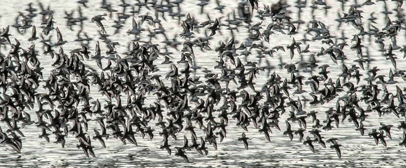 . Thousands of terns in flight create a cloud over the water near the protected nesting area  Bolsa Chica Ecological Reserve. ( PHOTO BY,  BRUCE CHAMBERS, ORANGE COUNTY REGISTER)