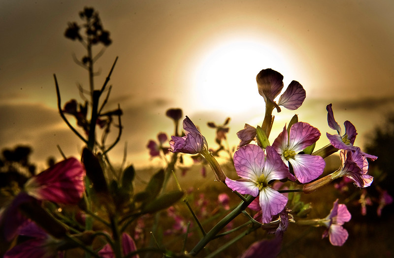 . Wild radishes, growing along a trail in the Bolsa Chica Ecological Reserve, open up during a  sunrise. ( PHOTO by  BRUCE CHAMBERS, ORANGE COUNTY REGISTER)
