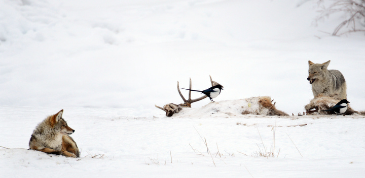 . A coyote feeds off a bull elk carcass near Soda Butte in Yellowstone. PHOTO:Will Lester