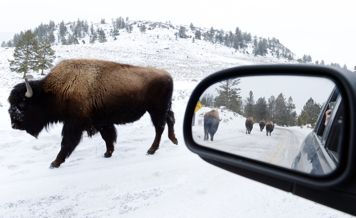 . Sharing the road with Bison in Yellowstone. PHOTO:Will Lester