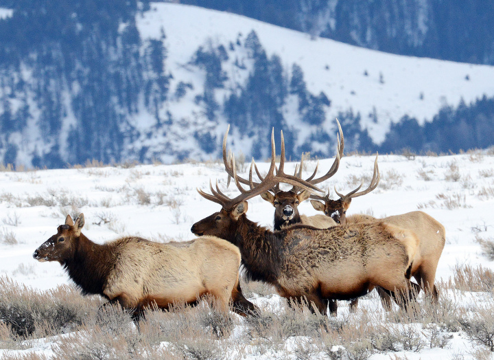 . Three bull elk pursue a female in the National Elk Reserve outside the Grand Tetons. PHOTO:Will Lester