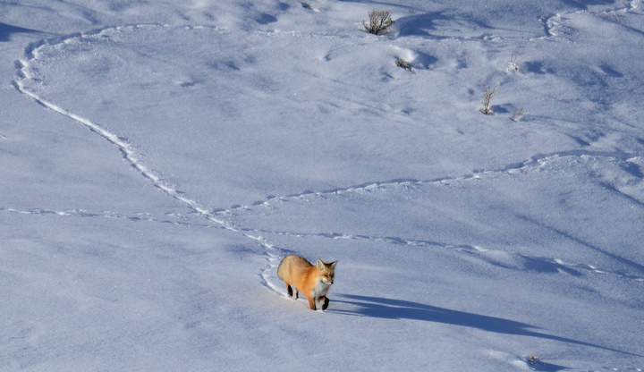 . A fox approaches an elk carcass before being chased away by coyotes near Soda Butte in Yellowstone. PHOTO:Will Lester