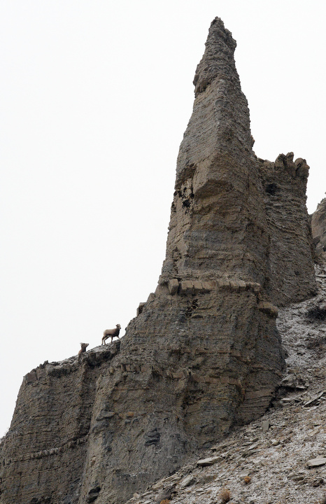 . Mountain goats walk the cliffs just inside the northwest entrance of Yellowstone. PHOTO:Will Lester