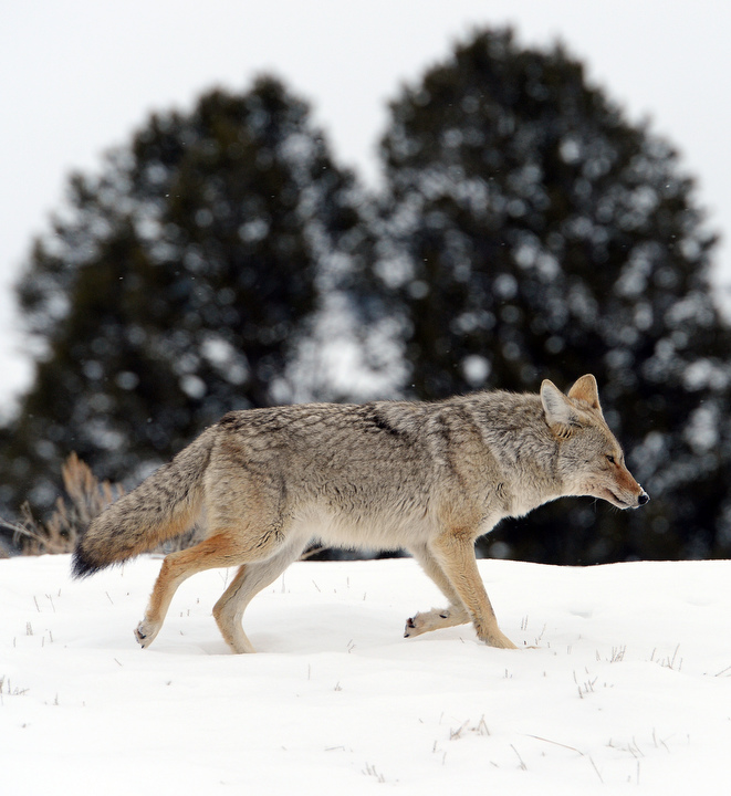 . A coyote searches for a meal west of the Lamar Valley of Yellowstone. PHOTO:Will Lester