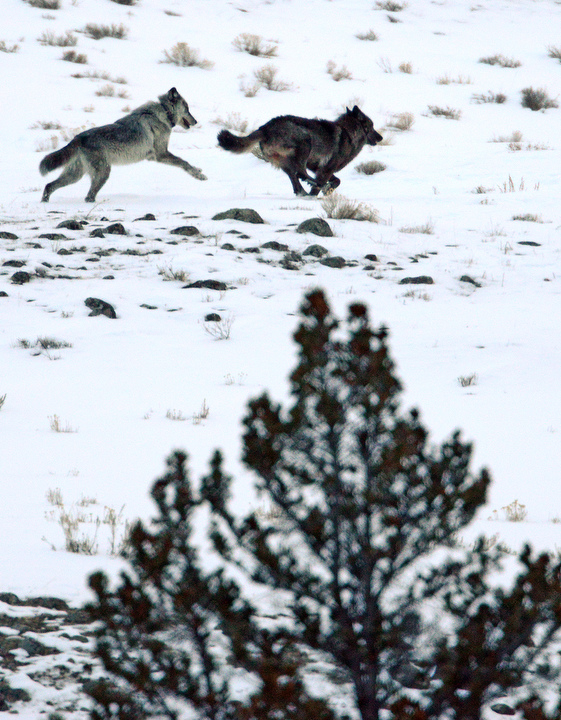. A pair of wolves chase each other near Slough Creek in Yellowstone. PHOTO:Will Lester