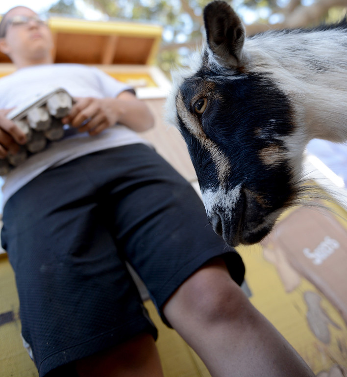 . David Mancina, 18 of Downey, stands over one of the two goats,  Jack and Berry, at the Vikings Farm at Downey High School in Downey CA. Tuesday October 1, 2013. Students raise the animals, and harvest fruit and veggies from their orchard and garden. (Photo by Thomas R. Cordova/ Daily Breeze)