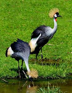 Gray Crowned Crane